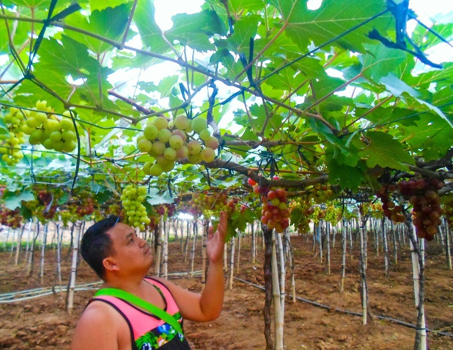 Grape Farm La Union